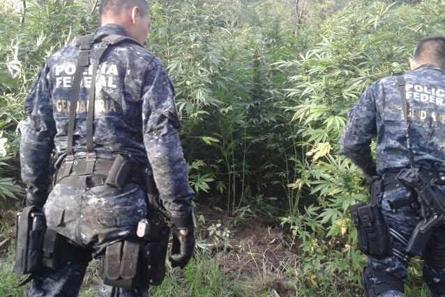 plantio-marihuana-002