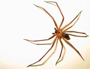 Araña-de-los-Rincones