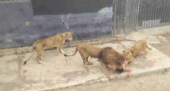 leones-chilenos